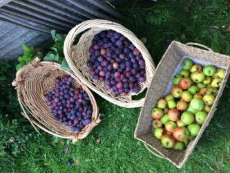 Plum Harvest Cabra - Ross
